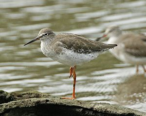 Common redshank - Winter plumage, at Sungei Buloh Wetland Reserve (Singapore)