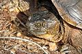 Common Snapping Turtle (Chelydra serpentina) - Flickr - GregTheBusker (1).jpg
