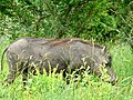 Common Warthog (Phacochoerus africanus) male ... (51127056991).jpg