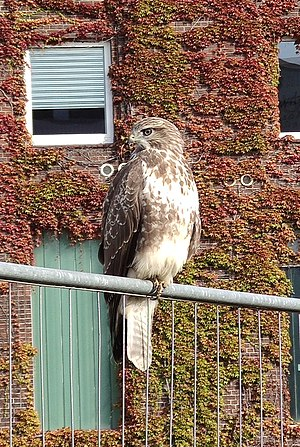 Common buzzard on fence 2.jpg