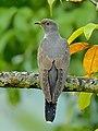 Common cuckoo by Shantanu Kuveskar.jpg