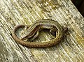 Common or Viviparous Lizard - Lacerta vivipara (33529653646).jpg