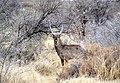 Common waterbuck, Namibia.jpg