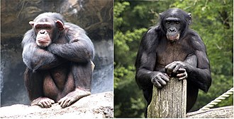 Pan (genus) - Members of the genus Pan: chimpanzee (left) and bonobo (right)