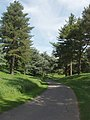 Conifers by park road at Blenheim - geograph.org.uk - 442348.jpg
