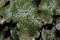 Conocephalum salebrosum (b, 142632-474029) 4439.JPG