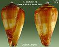 Conus anabelae 2 -cf.jpg