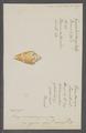 Conus cedonulli - - Print - Iconographia Zoologica - Special Collections University of Amsterdam - UBAINV0274 086 06 0025.tif