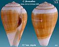 Conus flavusalbus 1.jpg