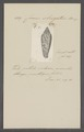Conus strigatus - - Print - Iconographia Zoologica - Special Collections University of Amsterdam - UBAINV0274 085 10 0083.tif