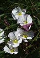 Convolvulus arvensis0.jpg