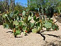 Coonly Garden, Opuntia ficus-indica - Barbary Fig, Spring at Mayo Clinic Phoenix, 2013 - panoramio (1).jpg