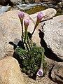 Coonly Garden - Echinopsis eyriesii - Eyries Echinopsis - panoramio.jpg