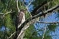 Cooper's hawk immature corkscrew preserve (27500594510).jpg
