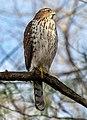 Cooper's hawk in Prospect Park (22513).jpg