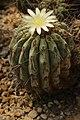 Copiapoa haseltoniana (41291287295).jpg