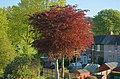 Copper Beech Trees - geograph.org.uk - 433657.jpg