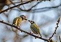 Coppersmith Barbet pair - Flickr - Yogendra174.jpg