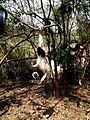 Coquerel's Sifaka Lemurs Park Antananarivo Madagascar - panoramio (2).jpg