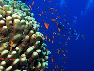 Photo of coral, goldies and and two divers