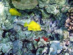 Deux chirurgiens jaunes, dans leur milieu naturel, un récif corallien près de Hawaï