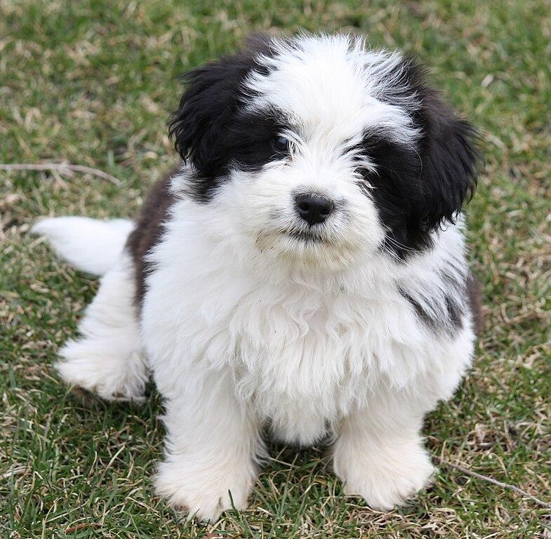 Kurzhaar Dog Breed