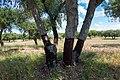 Cork oak (40927212050).jpg