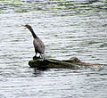 Cormorant Carvers Creek SP NC 0881 (9182684103) (2).jpg