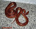 Corn Snake large gravid female.jpg