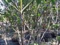 Cornus florida Cherokee Princess 2zz.jpg