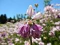 Coronilla varia - crownvetch - Flickr - Matt Lavin (5).jpg