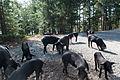 Corsica Wild Pigs (8132734377).jpg