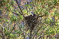 Corvus cornix nest 17 days.jpg