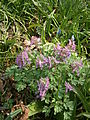 Corydalis solida clump 02.JPG