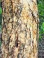 Corymbia exemia Galston Gorge.jpg