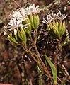 Corymbium villosum Helme 1.jpg