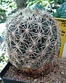 Coryphantha pseudoradians 1e.jpg