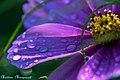 Cosmea After Rain (129907281).jpeg
