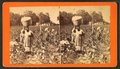 Cotton field, by J. A. Palmer 11.png