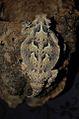 Couleur Phrynosoma platyrhinos.jpg