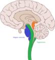 Coupe section du tronc cérébral.png
