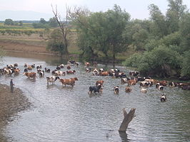 Cows in the Karaš River near Straža village, Serbia - 20090811.jpg