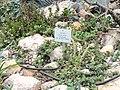 Crassula grisea - Palmengarten Frankfurt - DSC01745.JPG