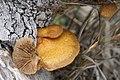 Crepidotus mollis 29570154.jpg