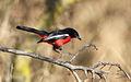 Crimson-breasted Shrike, Laniarius atrococcineus at Polokwane Nature Reserve, Polokwane, Limpopo, South Africa (14482278700).jpg