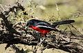 Crimson-breasted Shrike, Laniarius atrococcineus at Polokwane Nature Reserve, Polokwane, Limpopo, South Africa (14665749651).jpg