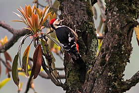 Crimson-breasted Woodpecker (Dendrocopos cathpharius) (8077151664).jpg