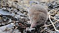 Crocidura shantungensis imported from iNaturalist photo 2804943 on 5 June 2019.jpg