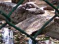 Crocodilesleep.jpg