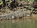 Crocodylus johnston Daintree river.jpg